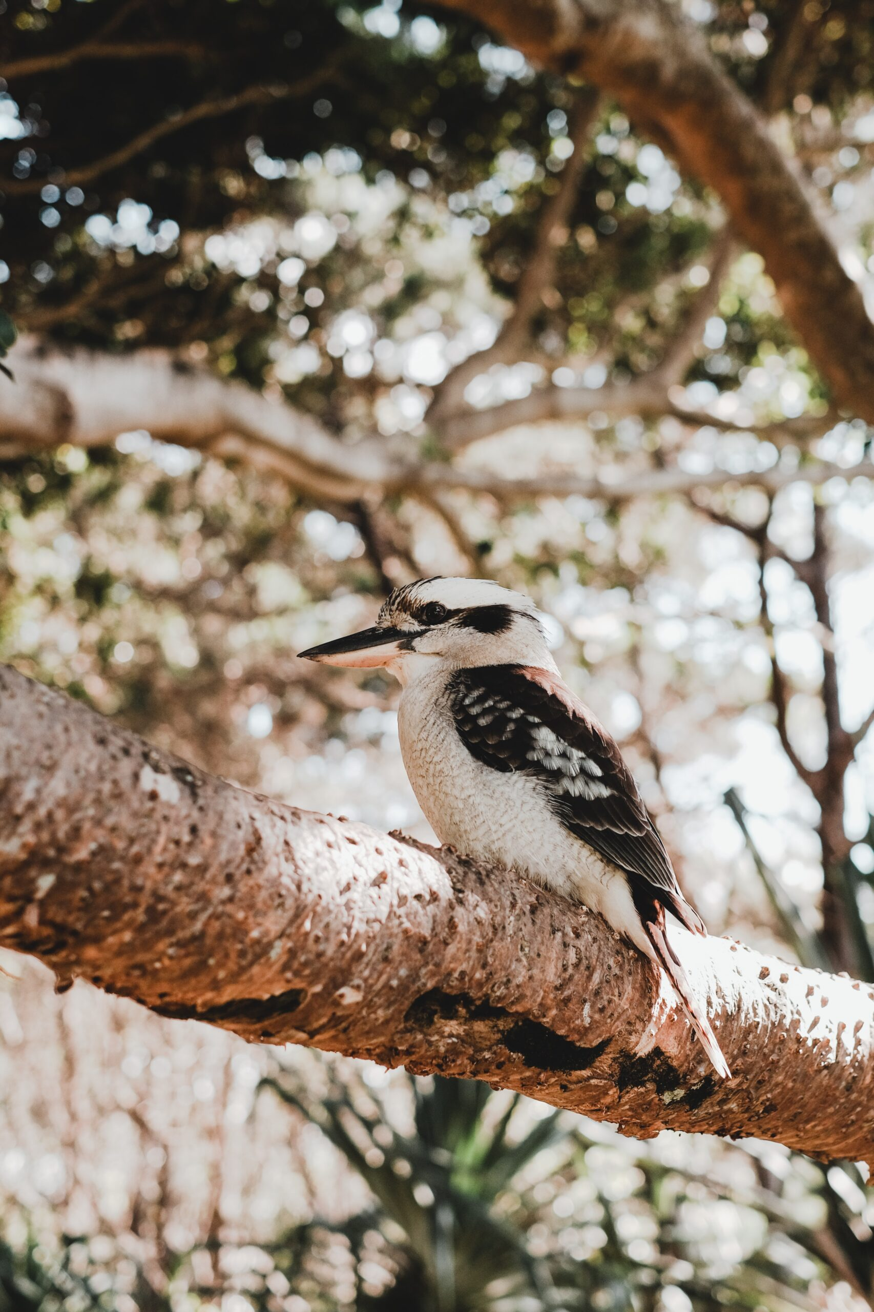 A kookaburra perched on a tree branch looking to the left