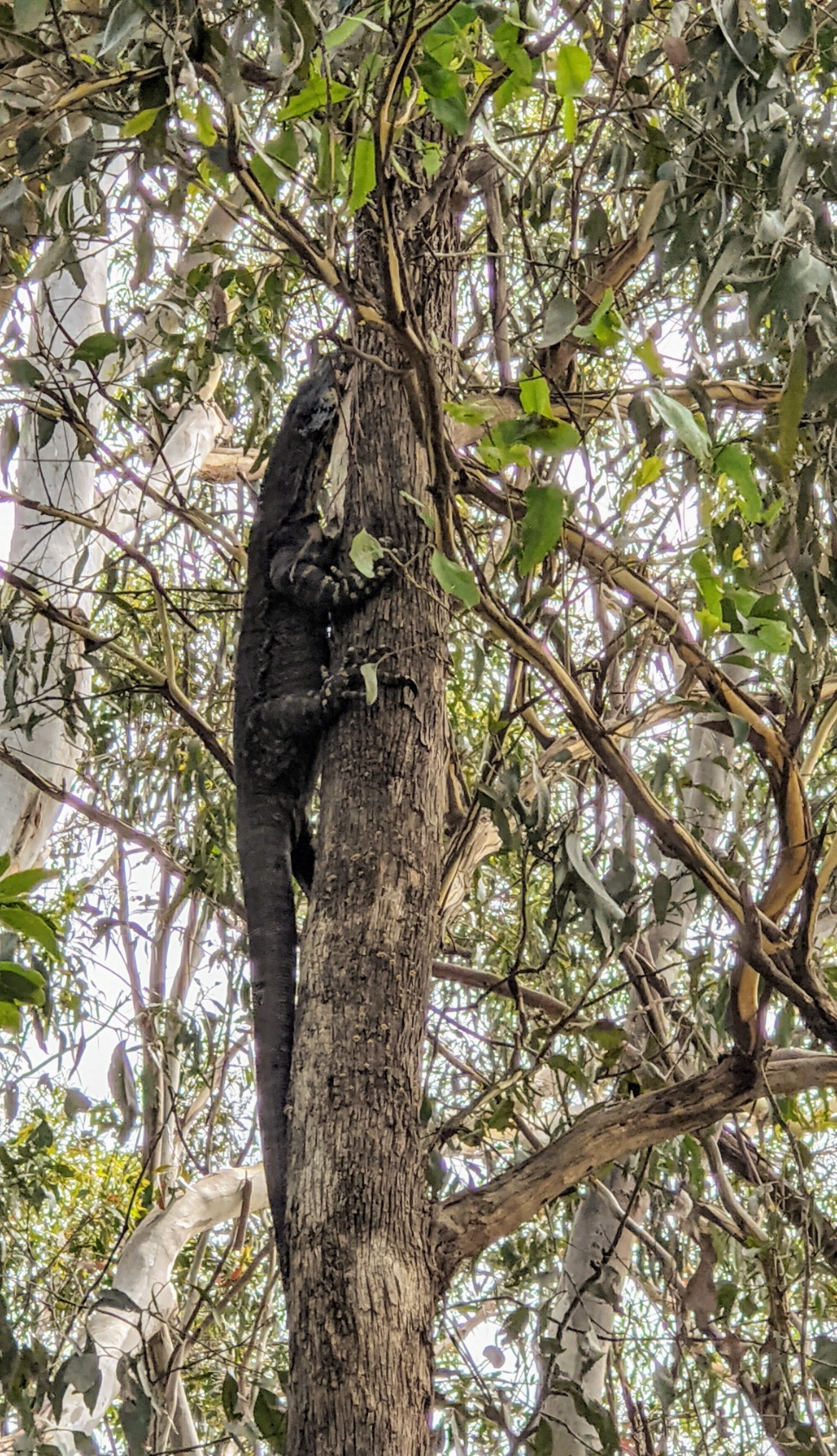 A lace monitor in a tree near Mountain Cottage